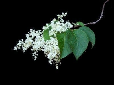 What Is A Japanese Lilac Tree?